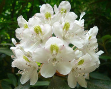Load image into Gallery viewer, Rhododendron Grande - Silvery Rhododendron 50 Seeds #Ornamental
