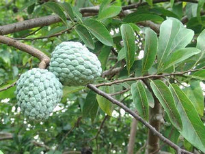 12 Seeds Annona Squamosa Sugar Apple Tree #Fruit