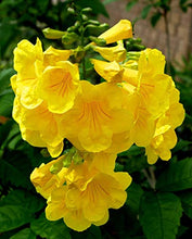 Load image into Gallery viewer, Tecoma stans Yellow Trumpet Bells Tree 25 Seeds #Ornamental