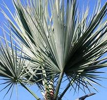 Load image into Gallery viewer, Brahea sp. (Super Silver) Silver Rock Palm 12 Seeds #House Plant