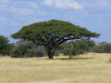 Load image into Gallery viewer, Acacia erioloba Camel Thorn, Giraffe Thorn Tree 12 Seeds #Tree