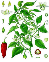 Load image into Gallery viewer, Capsicum annuum Jalapeno M Pepper Plant 50 Seeds #Vegetable