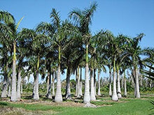 Load image into Gallery viewer, Roystonea Regia Royal Palm Tree 10 Seeds #House Plant