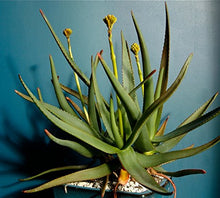 Load image into Gallery viewer, 10 Seeds Aloe fievetii var. fievetii Air Purification Plant #Aloe
