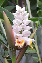 Load image into Gallery viewer, Alipinia Malaccensis Ginger Plant 10 Seeds #Ornamental