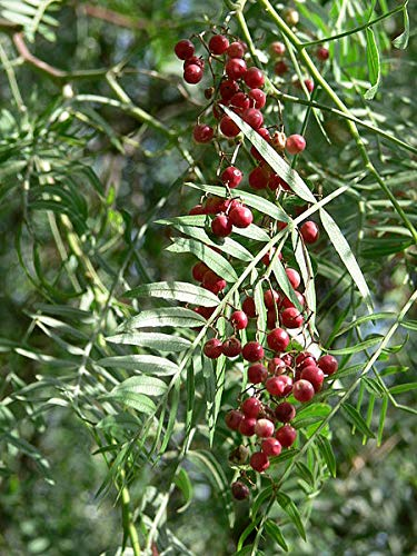Schinus molle Peruvian Pepper #Tree (SEEDS)