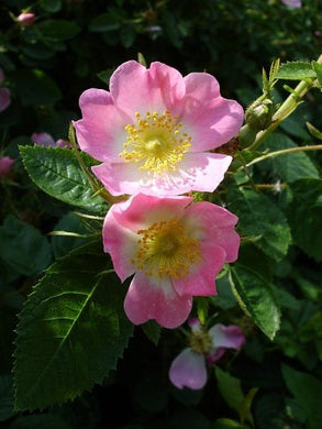 Rosa canina Flowering Plant 25 Seeds #Ornamental