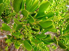 Load image into Gallery viewer, 10 Seeds Jacquinia berteroi Ornamental #Tree