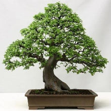 Load image into Gallery viewer, Ulmus parvifolia Chinese Elm Tree 25 Seeds #Tree