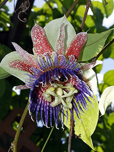 10 Seeds Sweet Cup Vine - Sweet Calabash - Passiflora maliformis #Fruit