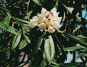 Rhododendron Grande - Silvery Rhododendron 50 Seeds #Ornamental