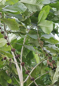 Aegiphila sellowiana 10 Seeds Tree #Ornamental