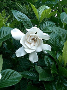 Gardenia Jasminoides (Herbal Jasmine Plant) White Flowers 25 Seeds #Ornamental