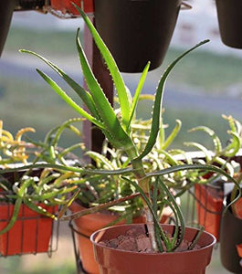10 Seeds Aloe fievetii var. fievetii Air Purification Plant #Aloe