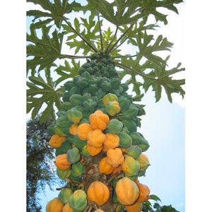 Carica Papaya Fruit Plant 35 Seeds #Fruit