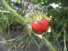 Load image into Gallery viewer, 10 Seeds Solanum sisymbriifolium Fruit Plant #Fruit