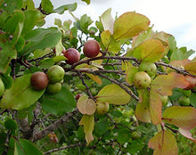 Load image into Gallery viewer, Flacourtia Indica Governor's Plum Fruit Tree 15 Seeds #Fruit