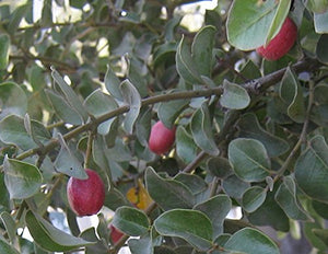 Cryptocarya wyliei Red Quince Fruit Tree (Seeds) #Fruit