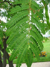 Load image into Gallery viewer, Albizia adianthifolia Flat Crown Tree 25 Seeds #Tree