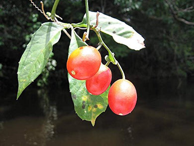 10 Seeds Cayaponia tubulosa Red Fruit Vine Plant #Fruit