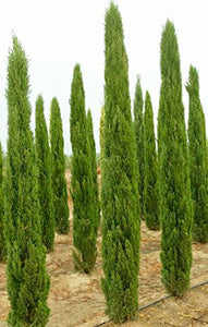 15 Seeds Mediterranean Cypress (Cupressus Sempervirens) Pine Tree #Ornamental