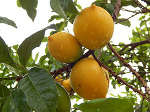 10 Seeds Pouteria caimito Abiu Fruit Tree #Fruit
