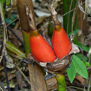 10 Seeds Aframomum Angustifolium a Ginger With Edible, Bright Red Fruits
