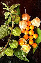 Load image into Gallery viewer, Physalis peruviana - Inca Berry - Colombia Select (SEEDS) #Fruit