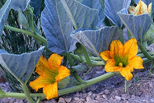Cucurbita foetidissima Buffalo Gourd Plant 25 Seeds #Vegetable