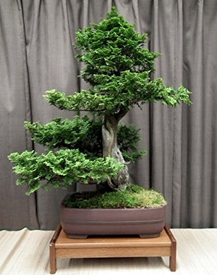Thuja Occidentalis Evergreen Bonsai Tree 25 Seeds #Tree