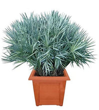 Load image into Gallery viewer, Serenoa repens (Silver) Silver Saw Palmetto Palm 15 Seeds #House Plant
