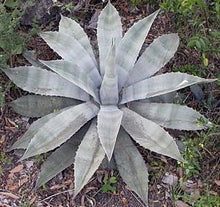 Load image into Gallery viewer, 10 Seeds Agave asperrima ssp. potosiensis Ornamental Plant #Agave
