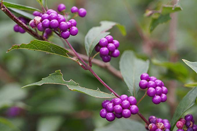 Callicarpa Japonica - Japanese Beautyberry Tree (SEEDS) #Fruit