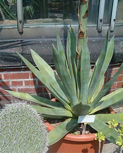 50 Seeds Agave celsii - Also Known as Agave mitis VAR. mitis #Agave