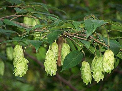 Carpinus japonica Japanese Hornbeam 25 seeds #Tree