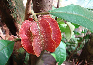 10 Seeds Carpotroche platyptera Fruit Tree #Ornamental