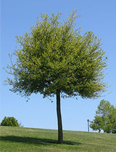Load image into Gallery viewer, Quercus virginiana Southern Live Oak Evergreen 10 Seeds #Tree