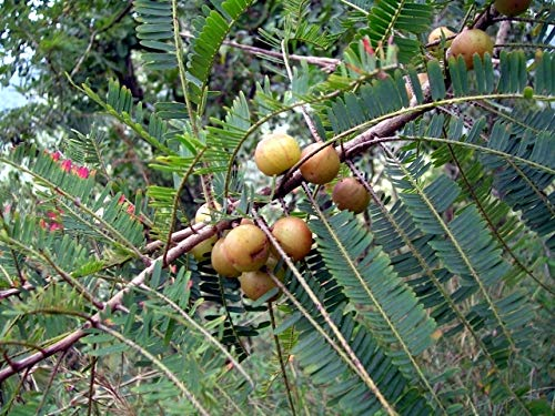 10 Seeds Indian Gooseberry Tree - Amla - Phyllanthus emblica #Tree