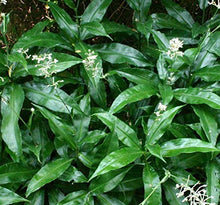 Load image into Gallery viewer, Pollia thyrsiflora Pearl Plant 50 Seeds #Ornamental