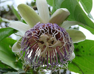 10 Seeds Wild Granadilla - Bell Apple Vine - Passiflora nitida #Fruit