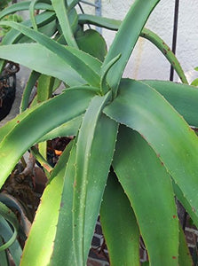 Aloe flexilifolia Air Purification Plant 10 Seeds #Aloe