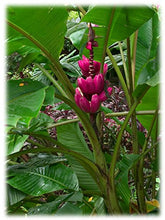 Load image into Gallery viewer, Musa Velutina Seeds (Pink Velvet Banana Seeds) Indoor Air Purification House Plant (SEEDS) #Fruit