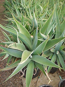 10 Seeds Agave guiengola Ornamental Plant #Agave
