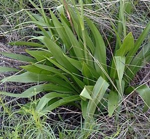 10 Seeds Agave bulliana (= Prochnyanthes mexicana) Lily Like Plant #Agave