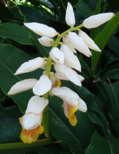 Load image into Gallery viewer, Alpinia mutica Dwarf Cardamom Ginger Plant 15 Seeds #Ornamental