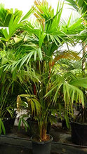 Load image into Gallery viewer, Carludovica palmata Panama Hat Palm 50 Seeds #House Plant