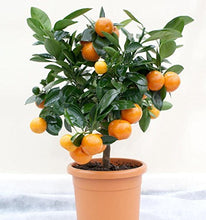 Load image into Gallery viewer, 15 Seeds Dwarf Valencia Orange Fruit Tree #Fruit