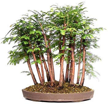 12 Seeds Metasequoia Glyptostroboides (Dawn Redwood) Makes an Excellent Bonsai Tree