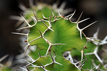 Load image into Gallery viewer, 10 Seeds Euphorbia grandicornis Cow's Horn Catus #Succulent