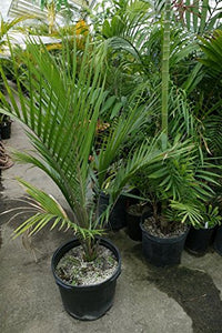 Rhopalostylis sapida Great Barrier Island Palm 12 Seeds #House Plant